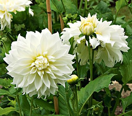 """Dinner plate Dahlia yields 8"""" white flowers.  Flower from July to October.  Grows 36"""" to 48"""" tall."""