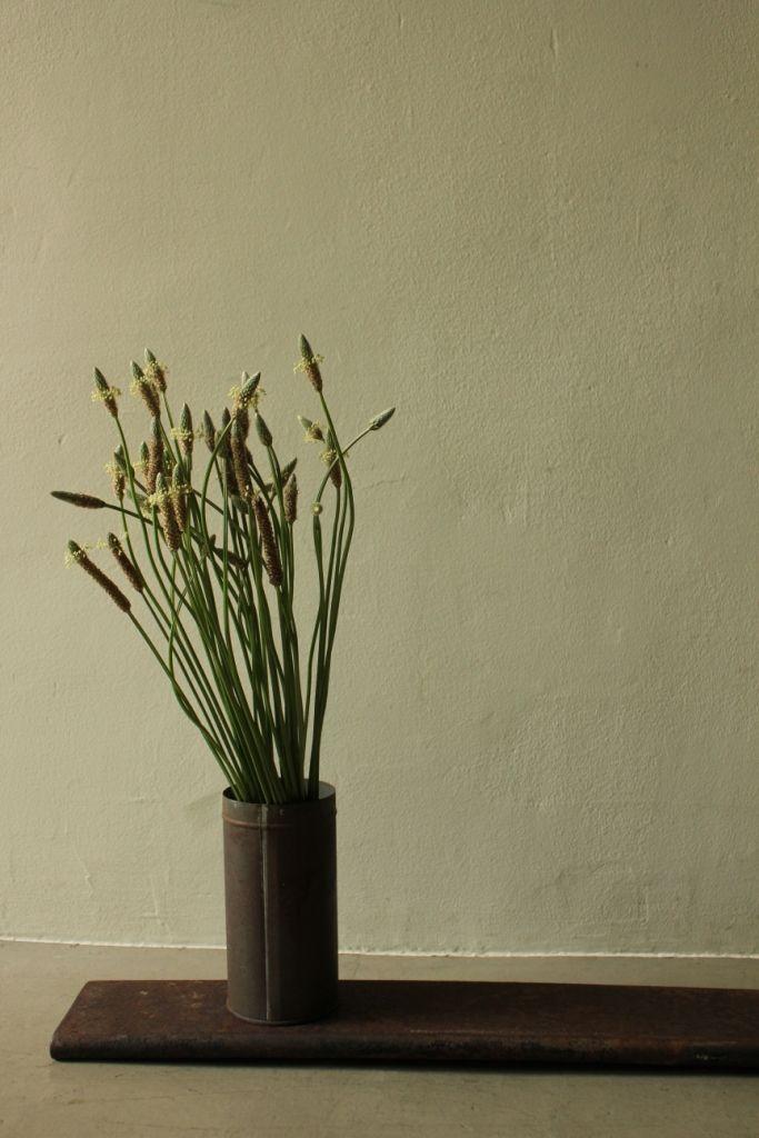 weed _ Plantago lanceolata