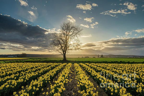 Skagit Valley Daffodils Lone Tree photography by Mike Reid
