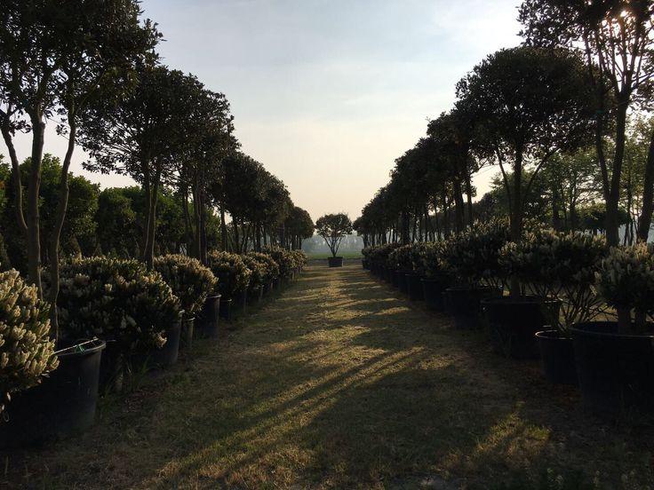 """È già estate nel vivaio di Comacchio!! (Piante a forma di paracadute - Quercus ilex e Prunus laurocerasus """"Otto Luyken"""")"""