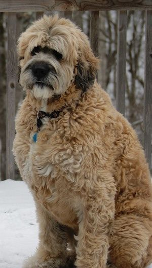 Saint Berdoodle! I wouldn't mind if our Leonberger was a leodoodle--maybe she would shed less! Lol