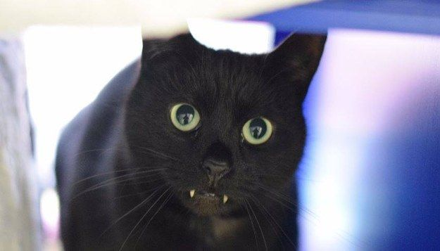 An adorable cat that happens to have some vampire-looking fangs is looking for a home in the UK.