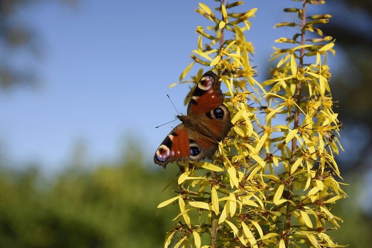 Close-up of a Peacock butterfly (Aglais Io) on a yellow flower with blue sky in background, picture from the North of Sweden.