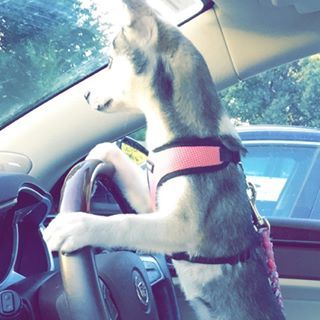 They're also excellent drivers! | 17 Reasons Alaskan Klee Kai Are The Absolute Cutest