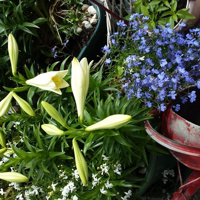First of my lillies opening on my balcony.  Wellington.  NZ