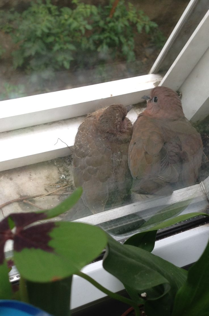 my dove and her baby