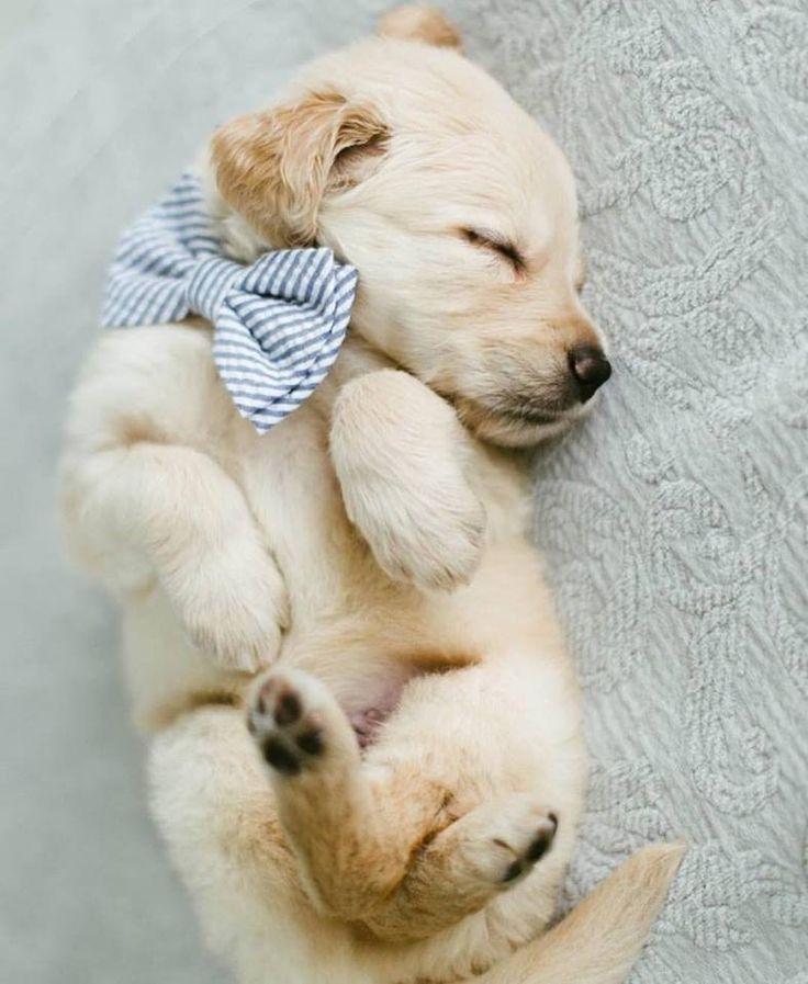 sleepy golden retriever puppy