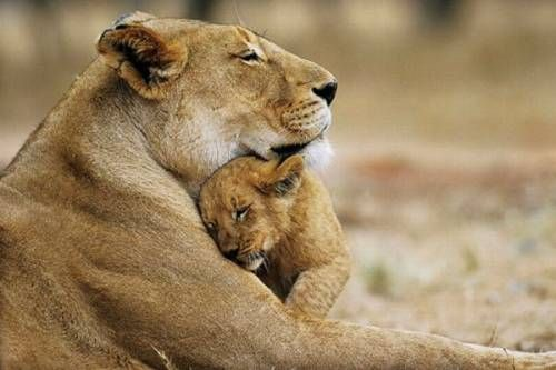 mom & baby lion: King Of Beast, Big Cat, Animal Pictures, Mothers Love, Mothers Day, Panthera Leo, Baby Animal, Baby Lion, Lion Cubs