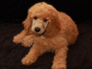 Standard Poodles for Sale nc | Dark Red Standard Poodles - Standard Poodle for Sale