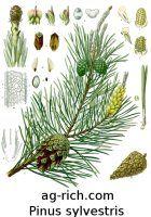 Pinus sylvestris arbol Pino Escoces semilla