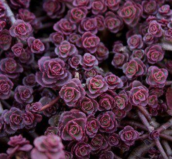 "Sedum spurium 'Red Carpet' 5, fall & winter image, H 3-6"" W 18-24"", drought tolerant, low water & maintenance"