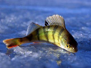 Рыбалка видео: Ловля окуня зимой