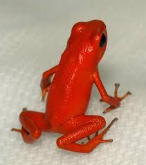 red frog - Google Search