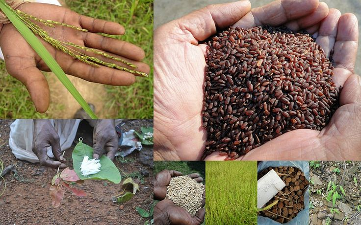 Medicinal Rice based Tribal Medicines for Diabetes Complications and Metabolic Disorders (TH Group-743) from Pankaj Oudhia's Medicinal Plant Database. Encyclopedia of Tribal Medicines by Pankaj Oudhia. #TribalMedicines