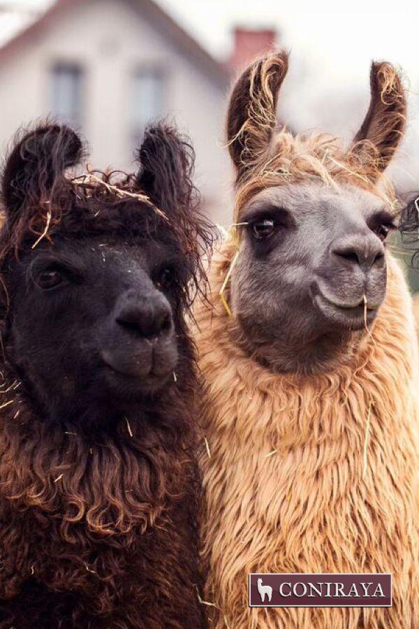 Meet my brother, alpaca :D #alpaca #coniraya #alpakino #alpacas