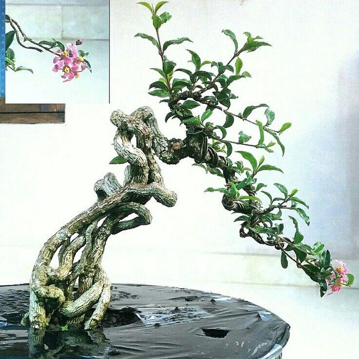#bonsai @kokoponiman 2017