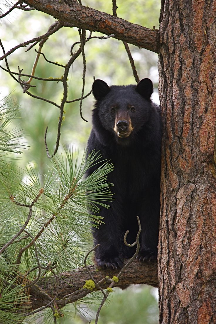 Black bear up in a pine tree in the Smoky Mountains