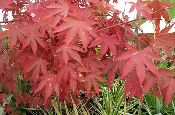 Aceri giapponesi: trame e colori anche per piccoli spazi. Acer palmatum 'Bloodgood' (c) growsonyou.com