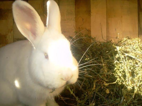 Balonarea iepurilor de casa - Animale Si Pasari De Curte