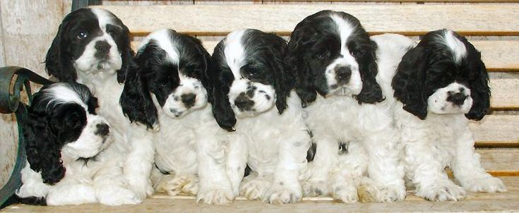 Black and White Cocker Spaniels. So precious.  That's the cutest thing I have ever seen.