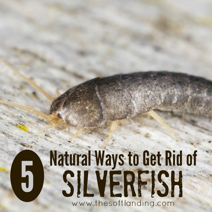 25 unique silverfish ideas on pinterest interior paint for How to get rid of silver fish