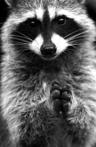 Beau portrait - Les ratons laveurs peuvent aussi prendre la pose pour un magnifique portrait noir et blanc.