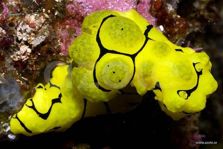 Nakensnäcka (Notodoris minor) på Indonesiskt korallrev