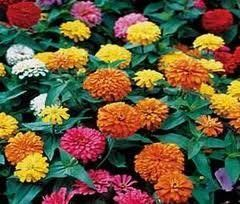 The Dirty Gardener California Giant Zinnia Elegans Flower Mix - .5 Pounds by The Dirty Gardener