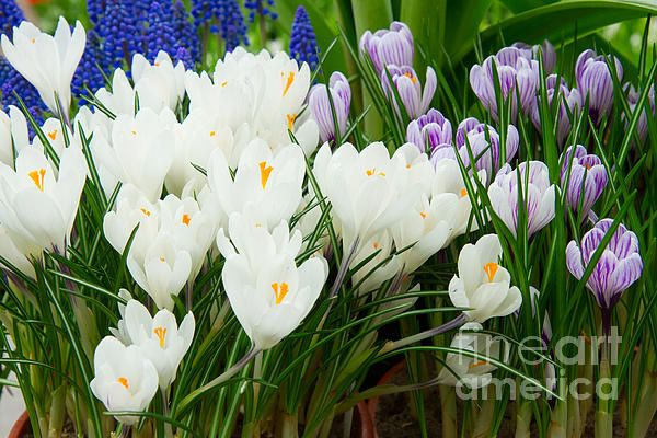 Spring white and blue blooming crocus flowers by Anastasy Yarmolovich #AnastasyYarmolovichFineArtPhotography  #Ar tForHome #Flowers #Spring
