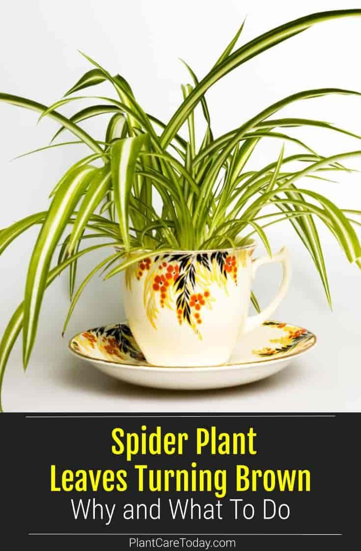Why Are My Spider Plant Leaves Turning Brown Details Plant Leaves Plants Spider Plants