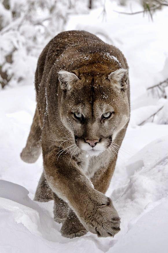 Puma en la nieve