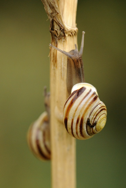 White-lipped banded snails