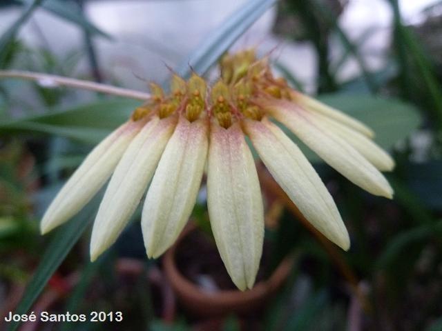 Bulbophyllum loherianum