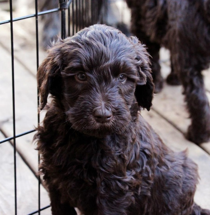 Australian Labradoodle puppies from www