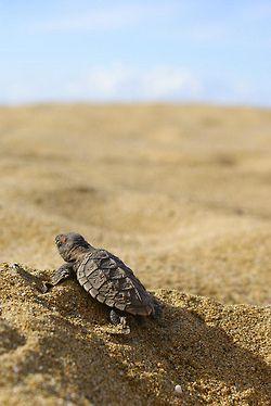 I love sea turtles! <3