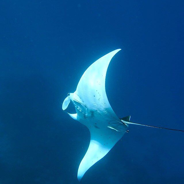 The beautiful manta ray in full flight.  #underwater #sea #elnido #wetpixel #philippines #ocean #travel #paditv #fisheyeuwp #oceanlife #PADI #elnidogram #love #instagood #twitter #photooftheday #beautiful  #picoftheday #instadaily  #love #blue #manta #instacool #natgeo #picoftheday #picoftheday #instadaily #instalike #bestoftheday #water_of_our_world