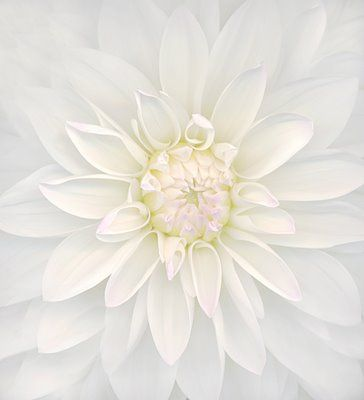 White Dahlia. Imagine as a canvas on the wall with other canvases of white flowers.