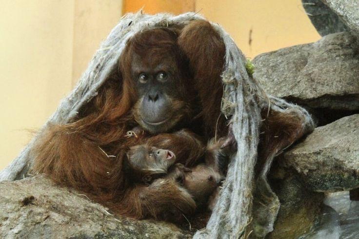 Un bébé orang-outan de Sumatra au Zoo d'Amnéville