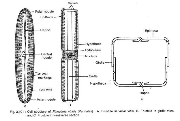 Cell Structure Of Pinnularia Viridis Diatom Marine Biology Cell Structure