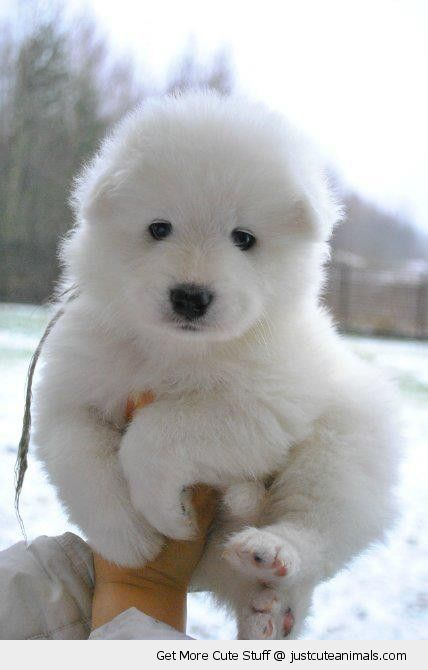 Samoyed puppies are mini bears!  Awwww so cute...look at tummie...little fatty love that.
