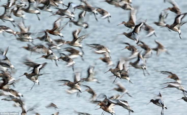 These long-beaked godwits were among the wading birds which temporarily relocated