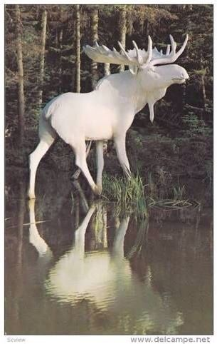 Albino moose. Even the antlers are white. Amazing!