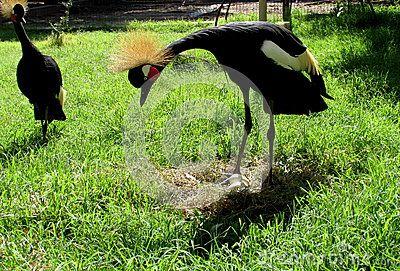 Couple crowned cranes guarding its nest