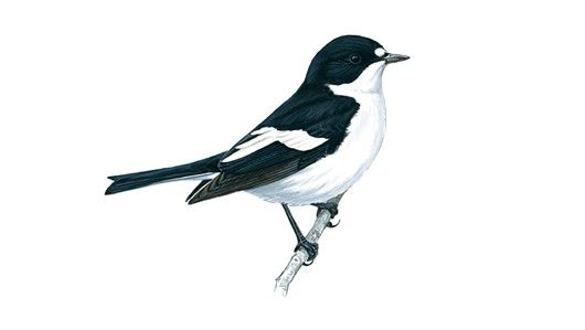 Pied flycatchers - male