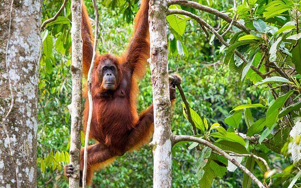 See orangutans in Malaysian Borneo's rainforests