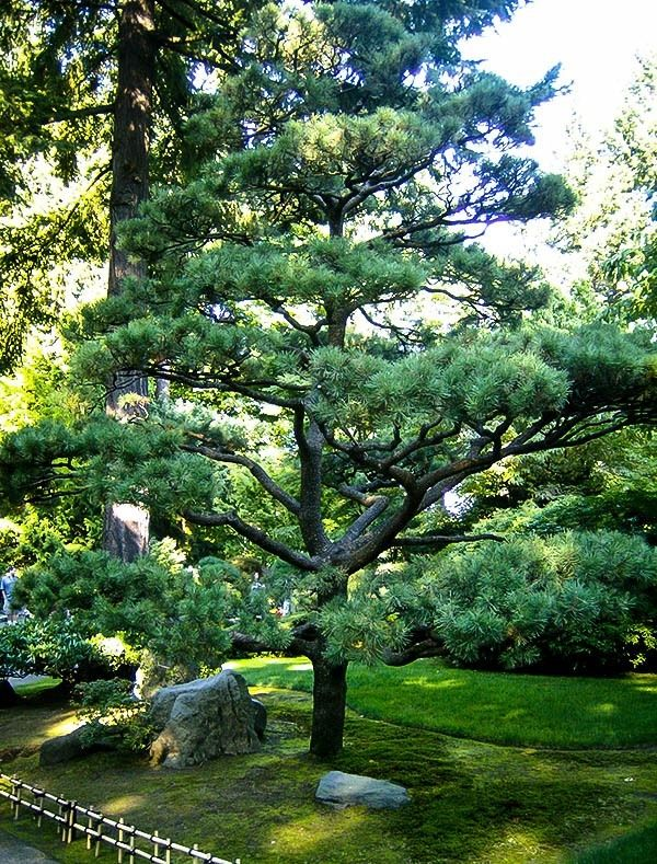 oregon green austrian pine - this tree may have been pruned.
