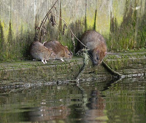 Brown rats inreflective mood, Rattus norvegicus