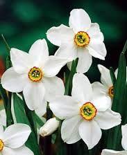 narcissus poeticus recurvus - may