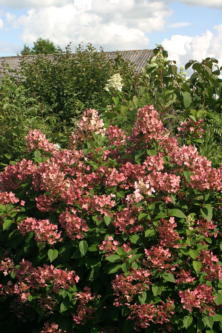 Quick Fire® hydrangea's white blooms transform to Marsala red red before other hydrangeas even begin to bloom.