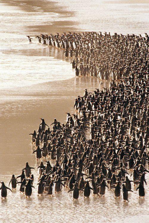 Gentoo penguins heading to sea, Pygoscelis papua, Falkland Islands.